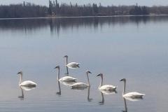 Trumpeter_swans2
